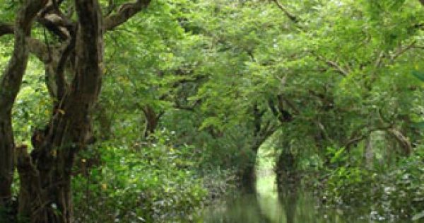 Ratargul swamp forest: Only freshwater swamp forest in Bangladesh