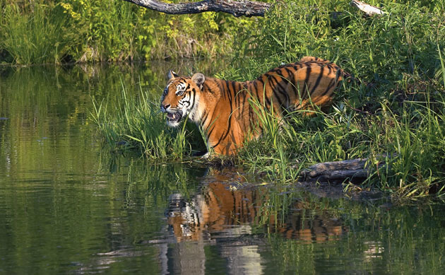 A Bengal tiger in Sundarbans