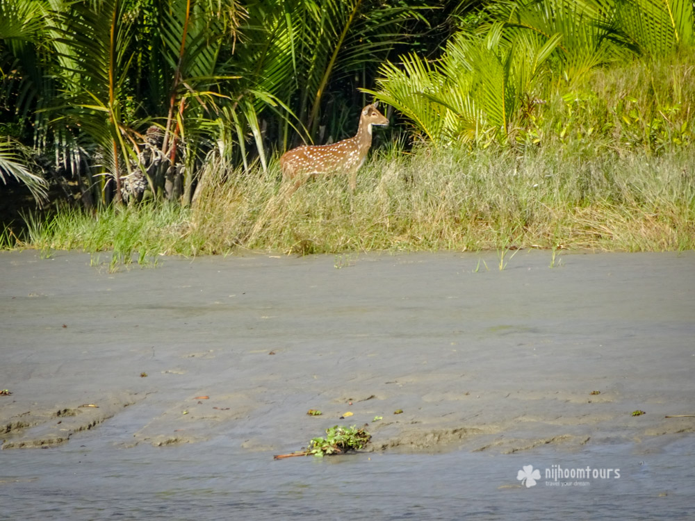 A spotted deer inside Sundarbans