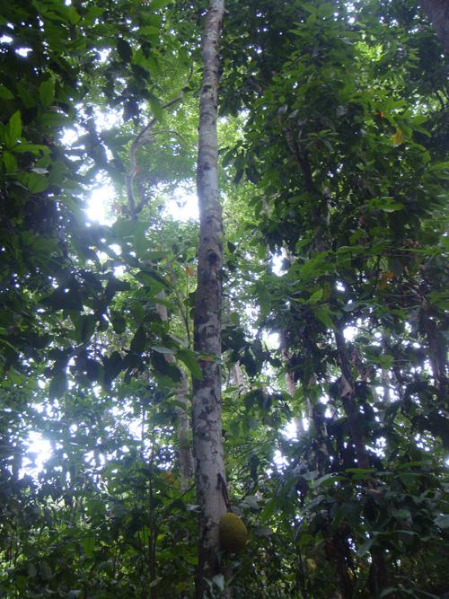 Jack-fruit tree at Lawachara National Garden