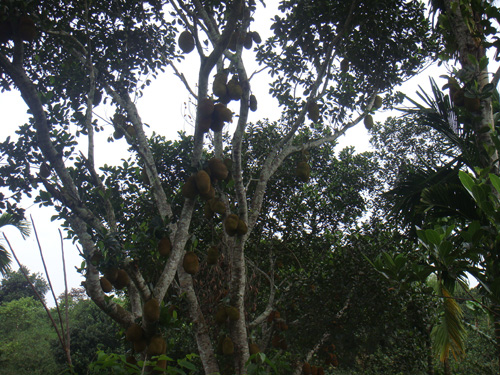 Lots of jack-fruits on the trees at Lawachara National Park